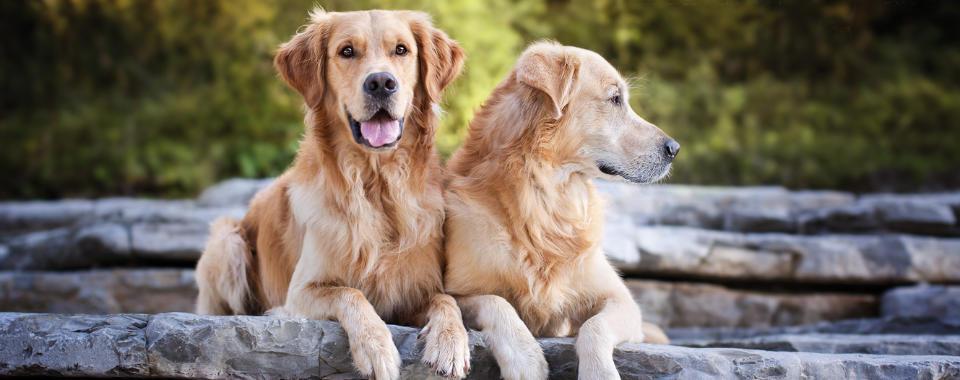 lesione della pelle del cane che viene nuovamente infettata